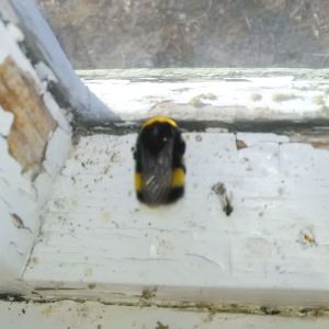 En humla på en fönsterkarm.