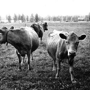 Lehmiä laitumellä