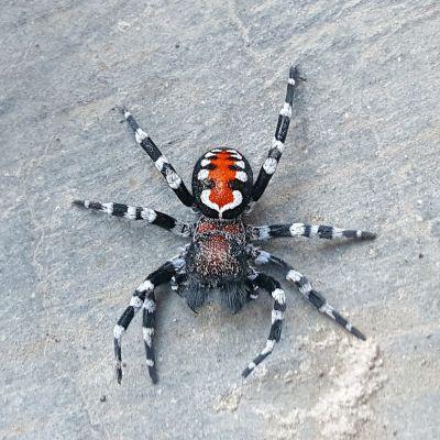 Loureedia phoenixi, hämähäkki
