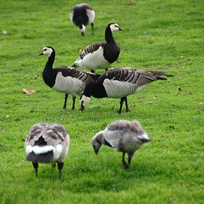 Valkoposkihanhet ja niiden jälkeensä jättämät ulosteet ärsyttävät ihmisiä. Helsingin Kaivopuisto on lintujen suosima alue.