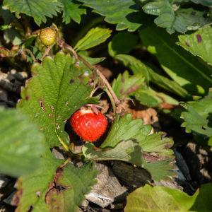 Jordgubbar på ett jordgubbsland