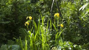 Keltakurjenmiekka puutarhassa
