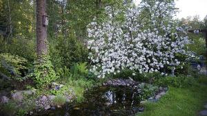 Omenapuu kukkii puutarhalammikon reunalla