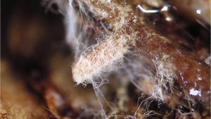 Kuusen lyhytjuuria ja mykorritsasienten rihamstoa, mikroskooppikuvaa