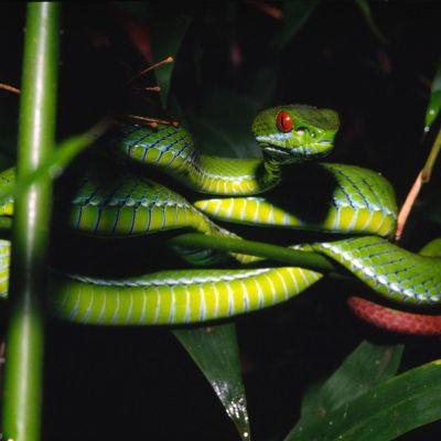 Suur-Mekongin alueella Vietnamissa ja Kambodžassa elävä Trimeresurus rubeus - käärme. Kuuluu 126 uuteen eliölajiin, jotka löydettiin Suur-Mekongilta vuonna 2011.