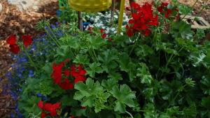 röda pelargoner och blå lobelia