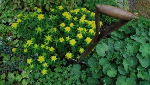Gulblommiga perenner och en spade nedstucken i rabatten