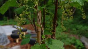 Vinbärskart på uppstammad vinbärsbuske