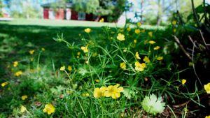 Gul smörblomma blommar i Strömsös trädgård, Strömsövillan i bakgrunden