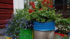 Röda pelargoner och blå lobelia i färgglada tunnor