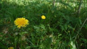 Maskrosor blommar i gräs