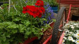Sommarblommor i rött, vitt och blått