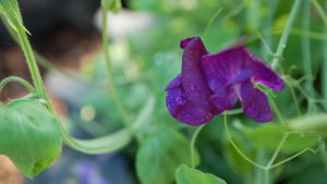Mörkt lila luktärt