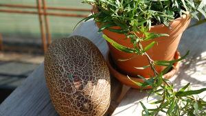 Viherkasvi ja viidakkokurkku