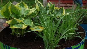 Samplantering av hosta och gräs
