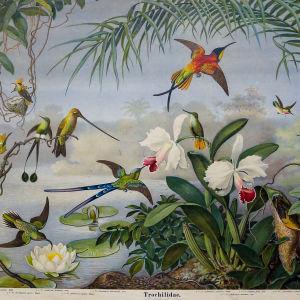 Kolibrier, Lehmanns djurtavlor, Tyskland, cirka år 1900.
