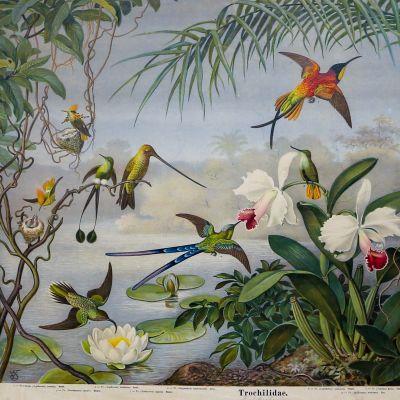 koulutaulu kolibreista
