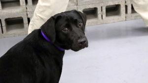 Den tidigare bombhunden Lulu.