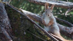 En ekorre tittar fram mellan trädgrenarna.