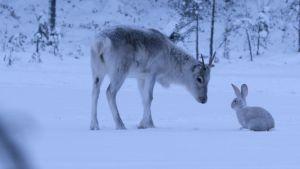 Ailo och en hare bekantar sig med varandra.