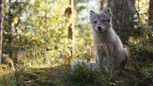 En vargunge tittar ut över skogen.