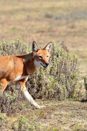 Abessinian vuorten syrjäinen luonto on erään maailman harvinaisimman petoeläimen, etiopiansuden, koti.