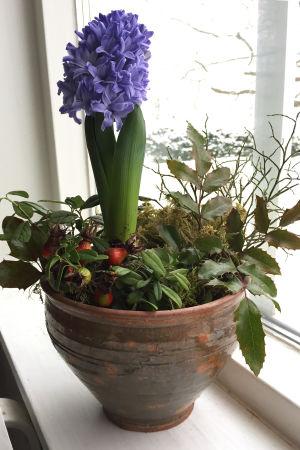 Ett blomsterarrangemang med en hyacint, lingonris och blåbärsris i en kruka. Krukan står i ett fönsterbräde.
