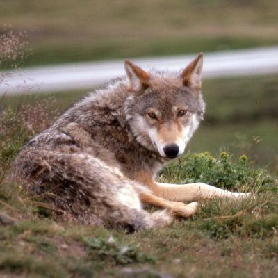 En varg ligger på en gräsplätt.