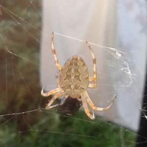 Tage undrar vilken spindel det här är?