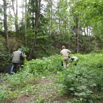 neljä ihmistä ryteikköisessä maastossa kitkemässä jättipalsamia