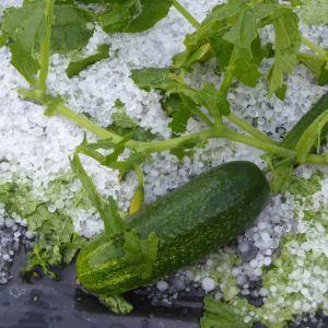 En grön gurka ligger i en hög med vitt hagel.