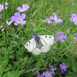 En mnemosynefjäril sitter bland blommor.