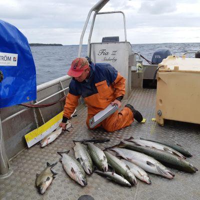 Fiskaren Mikael Lindholm med laxar i sin båt.