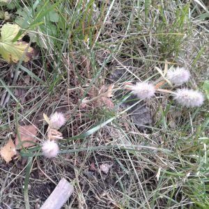 Roger Syren undrar vad detta är som växer vid en skogsväg i Lemland
