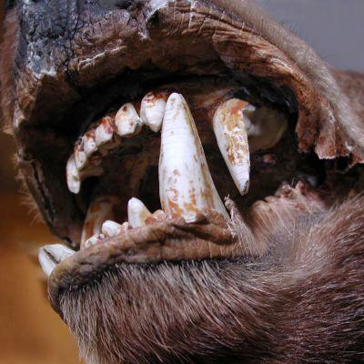 Björnen spetsiga tänder