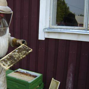 Bjarne Bruce visar upp innehållet i en bikupa.
