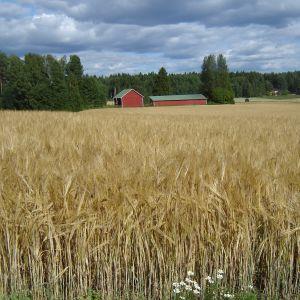 Där som sädesfälten böja sig för vinden...