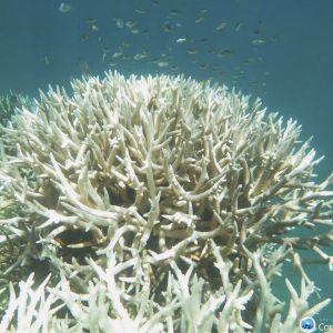 En korall som har drabbats av korallblekning