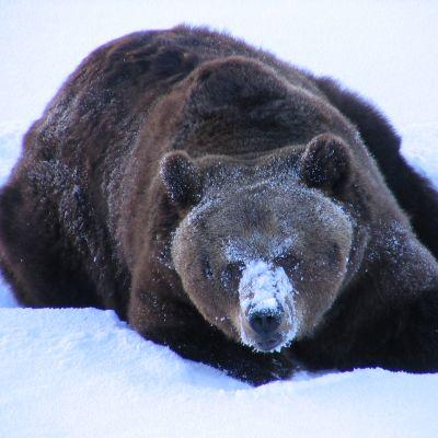 Ranuan eläinpuiston karhu