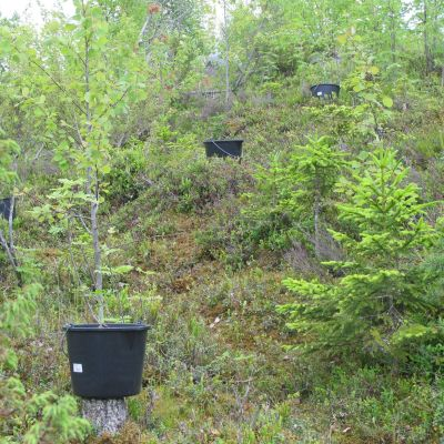 Kannabiskasveja metsässä.