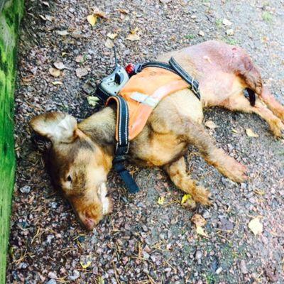 En död tax som ligger på marken, grus. Ansiktet syns inte. Hunden har en sele med gps på ryggen. Blodig bakdel av hunden.