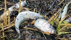 Döda fiskar ligger på marken.