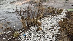 Fiskar ligger på marken vid ett berg nära havet.