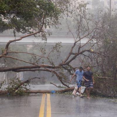 Puu oli kaatunut hurrikaani Irman voimasta Miamin keskustassa Floridassa 10. syyskuuta.