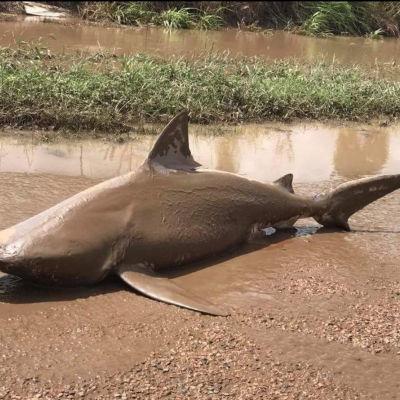 En tjurhaj sköljdes upp på vägen i delstaten Queensland då den tropiska cyklonen Debbie svepte in över nordöstra Australien