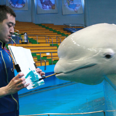 Artistic beluga whale becomes a celebrity at Polar Ocean World