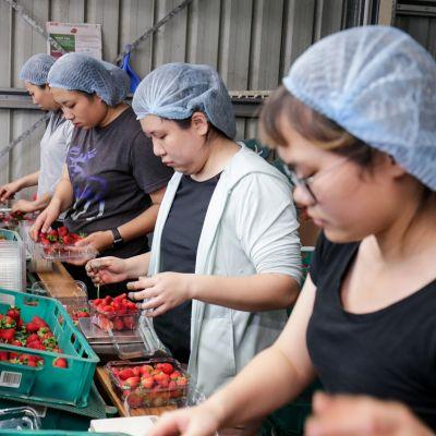 Kausityöntekijät lajittelee mansikoita.
