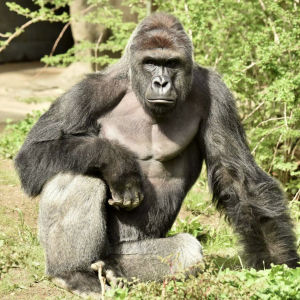 Gorillan Harambe i Cincinnatis zoo
