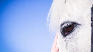 hevosen pää