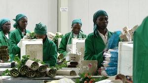 Afrikkalaisen ruusuplantaasin työntekijöitä
